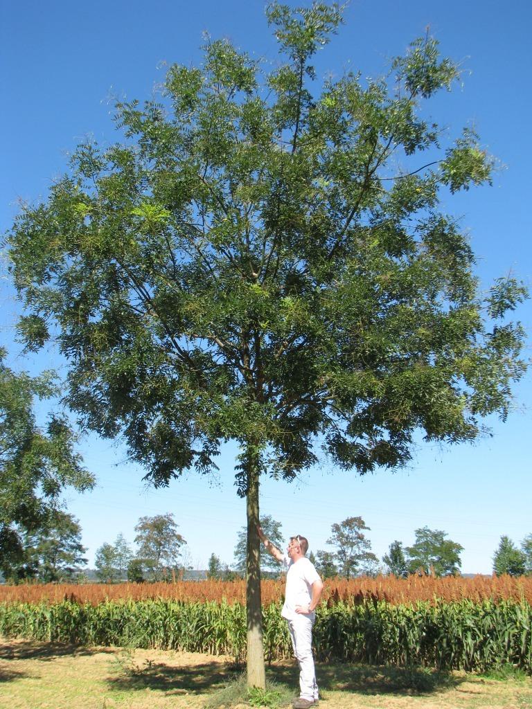 sophora japonica regent - guillot bourne